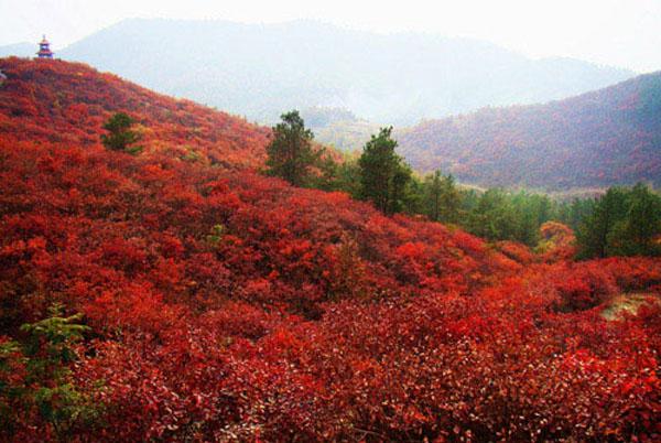 妙峰山红叶
