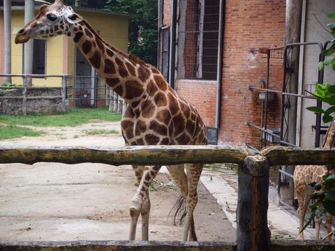 看这长颈鹿的家就想广州动物园该翻修一下了
