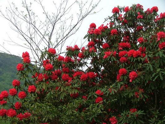 贵州省百里杜鹃风景区是位于贵州黔西县金坡至大方