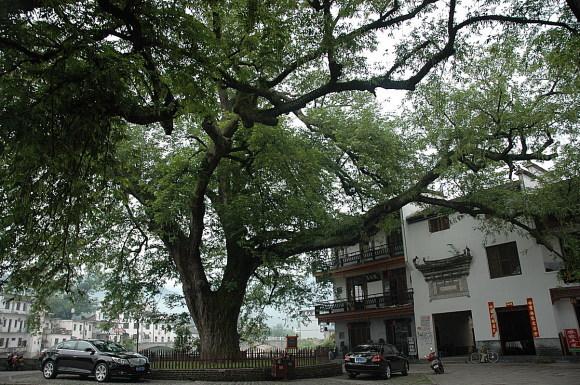两棵大树之一:红杨古树,在村子的西入口,也是我夜晚潜入宏村的入口.