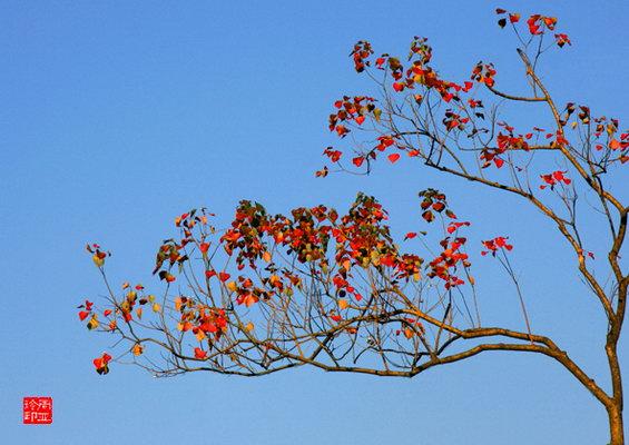 """写意中国画""""巫山乌桕红叶""""秋天的精彩"""