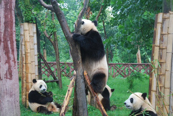 可爱的熊猫在爬树