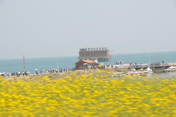 青海湖旁的油菜花
