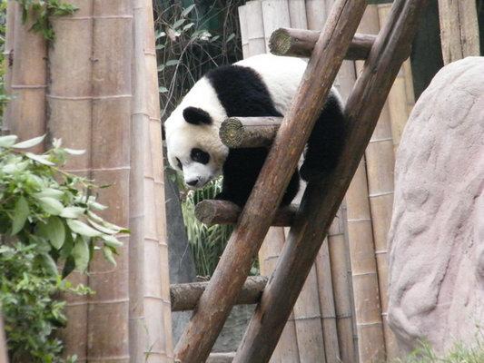 可爱的大熊猫小姐